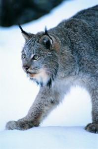 big_cats08