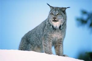 big_cats20