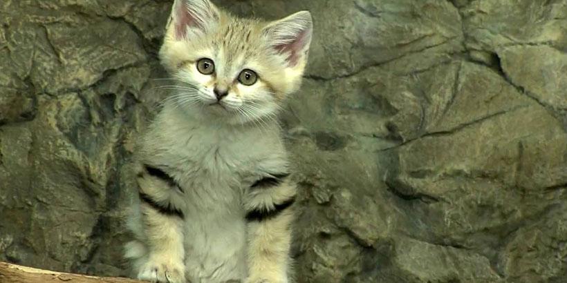 gatododeserto