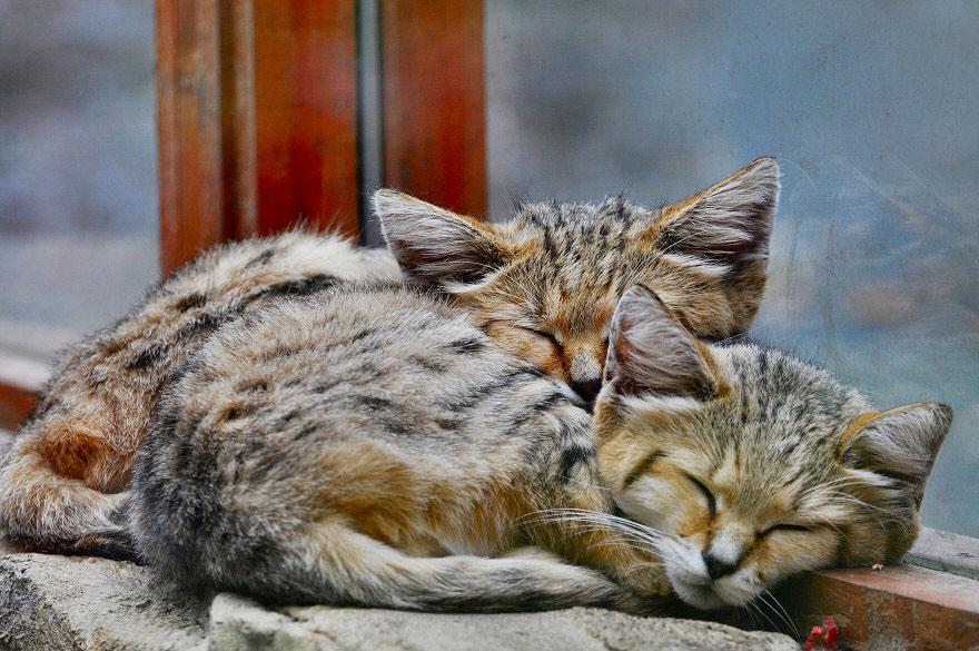 sand-cats-kittens-forever-13